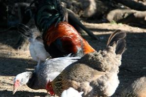 Feeding the ducks and chooks
