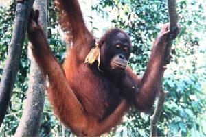 Orangutan, Sepilok, Borneo