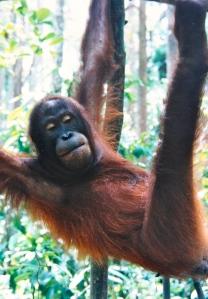 Orangutan, Sepilok, Sabah