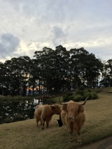 Spicers Peak Lodge cows