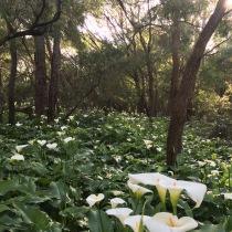 Arum lilies, Cape Lodge, Yallingup, WA