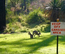 Kangaroos at Takarakka Bush Camp, Carnarvon Gorge, Queensland