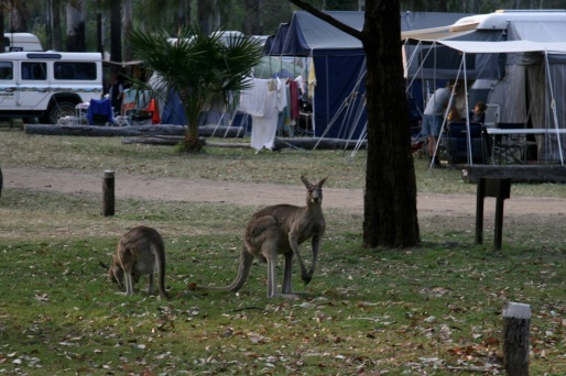 Kangaroos at Takarakka Bush Camp