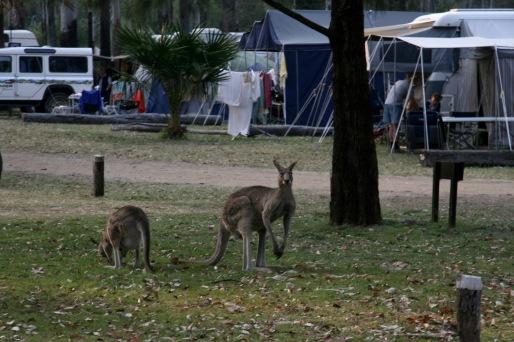 Kangaroos at Takarakka Bush Camp